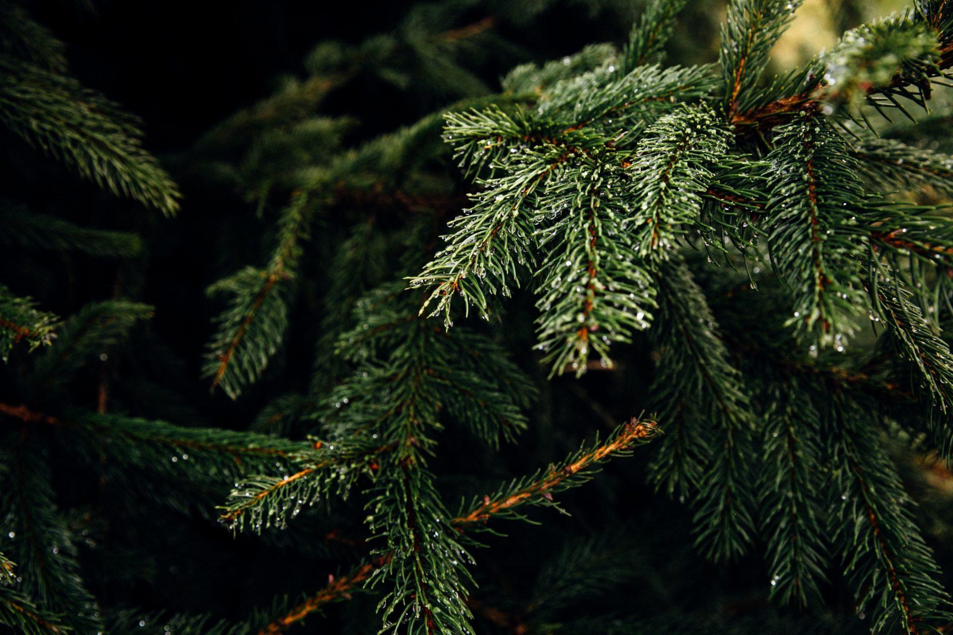 de arend winssen kerstboom kopen bestellen